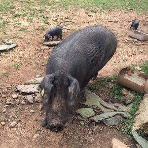 Zufallsbekanntschaft - eines der berühmten schwarzen Schweine